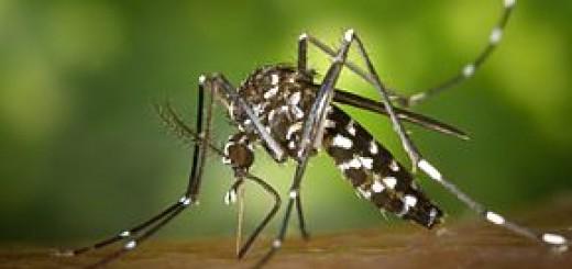 290px-CDC-Gathany-Aedes-albopictus-1
